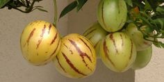 Patříte k lidem, jimž se nechce ztrácet čas a energie péčí o rostliny, jejichž plodů se nenají? Máte malinký balkon a nevíte, jak ho prakticky využít? Pořiďte si Pepino gold a vypěstujte chutné a zdravé melounky.