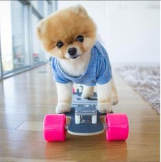 Jiff the Pomeranian is a dog of many talents. He knows how to shake hands, bows, rides a skateboard and even stamps his own autograph. His most recent honor was one for the record books – Guinness World Records that is. He was officially honored in the 60th-anniversary edition as the fastest dog on two legs (yes, two legs), something else for his millions of fans to adore him for. A single appearance by Jiff can fetch as much as $17,000.