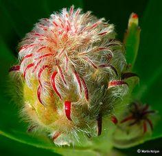Leucospermum glabrum X conocarpodendron (Protea flower bud)
