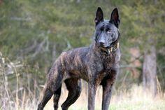 Dutch shepherd