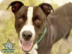 12/20 CODE RED! 12/15 URGENT!! 12/9 Knox is still waiting! 11/10/15 - Pit Bull Terrier Mix Dog for adoption in Tavares, Florida - KNOX (((Tavares is a SNOW BIRD AREA, so many of these wonderful pets won't get adopted. If you know of rescue groups that can transport these lovable animals to other cities where they have a greater chance at being adopted, please spread the word. Thx!)))