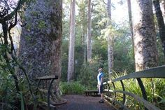 Seating area in a kauri grove.