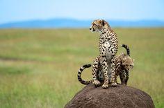 Kenya - Massai Mara - Guépard