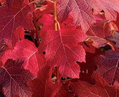 Oak leaf hydrangea in fall.