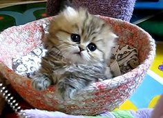 cute cats images   All kittens are cute and adorable, but India, a Persian kitten from ...