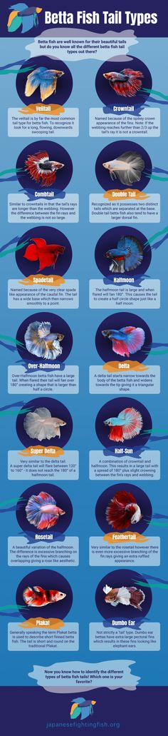 Betta Fish Tipos de cola de Infografía