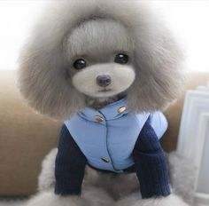 Cute Small Dogs, Cute Funny Dogs, Cute Cats And Dogs, Cute Funny Animals, Cute Baby Animals, Cute Teacup Puppies, Cute Puppies, Dog Grooming, Poodle Grooming