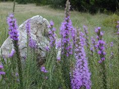 Liatris mucronata (Cusp gayfeather) - fall blooming, perrenial, dies to ground in winter, low water, full sun Seed Bank, Plant Images, How To Attract Hummingbirds, Fall Plants, Plant Sale, Native Plants, Dream Garden, Lawn And Garden, Perennials