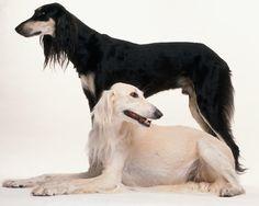 saluki photo   Saluki - Razas perros   Mascotas.