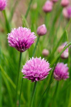 Perrenial herbs that my garden has.