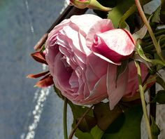 Pink Rose In Half Profile.2014 Leif