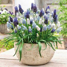 Verleihen Sie Ihrem Garten mit dieser Traubenhyazinthen Mischung ein bezauberndes Farbenspiel in Blau und Weiß. Die Mischung enthält eine Kombination der beliebtesten Traubenhyazinthen und ist ideal für die Pflanzung in Beeten, Steingärten, Balkonkästen, Kübeln und Schalen gleichermaßen geeign...