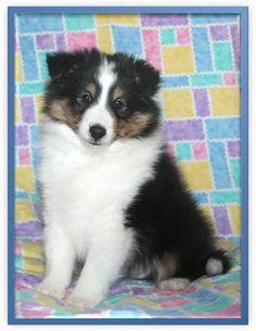 Too cute Tri Sheltie pup !