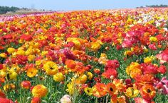 field of ranunculus in Carlsbad, CA... wish I knew this was there when we visited last year! GORG!