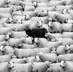The Black Sheep amongst the Herd of Sheep on the Farm