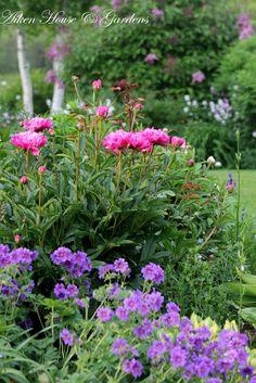 Peonies and Magnificum geranium. Pretty Pinks and purple combination .