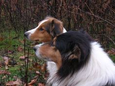 Old Time Scotch Collies                                                       …