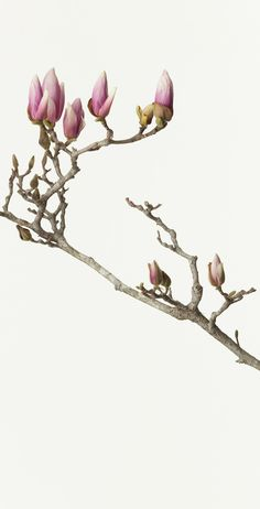 Available for sale from Ippodo Gallery, Takashi Tomo-oka, Hasu ( Lotus ) Digital photo printed on Japanese Washi paper, × 30 cm Flower Images, Flower Art, Flowers Nature, Beautiful Flowers, Deco Paint, Illustration Blume, Colorful Plants, Magnolia Flower, China Painting