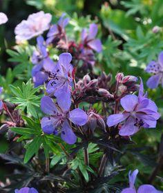 Midnight Reiter Cranesbill, Geranium pratense 'Midnight Reiter'
