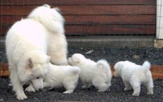 Ladies and Gentlemen, We present you these wonderful exceptional litter of Samoyed Puppies for sale, Puppies are AKC registered, vet checked, Micro chip, wormed and faces no health problems, we are now accepting deposits on these fluffy bundles of joy, they will make the perfect companion to a good pet loving home, they will beRead More The post Brandy – SAMOYED PUPPIES FOR SALE appeared first on VIP Puppies - Puppy Finder - Puppies for Sale & Puppies for Adoption. If you've enjoyed this…