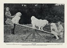 SAMOYED DOGS ON A SEE SAW CHARMING VINTAGE IMAGE ORIGINAL 1934
