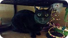 Woodbury, NJ - Domestic Shorthair. Meet Cadbury, a cat for adoption. http://www.adoptapet.com/pet/12453727-woodbury-new-jersey-cat