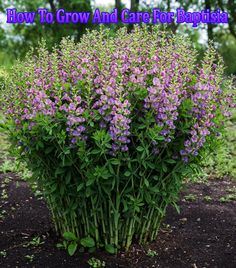 How To Grow And Care For Baptisia. Baptisia is one of those tall beautiful plants. Baptisia is tough, dependable, long-lived perennial makes an impressive.. #Baptisia #garden #plants #flowers #flowergarden #gardening