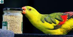 https://www.facebook.com/WonderBirdSpecies/ Regent parrot or Rock pebbler (Polytelis anthopeplus); Australia; IUCN Red List of Threatened Species 3.1 : Least Concern (LC)(Loài ít quan tâm) || Vẹt nhiếp chính; Họ Vẹt nhỏ-Psittaculidae; Australia.