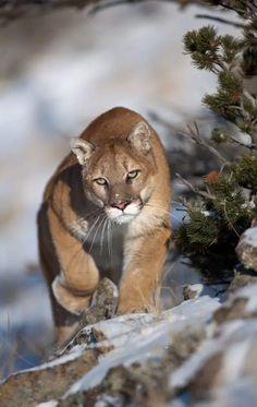 Большие Кошки, Кошки И Котята, Милые Котики, Смешные Кошки, Милые Животные, Дикие Животные, Домашние Питомцы, Mountain Lion, Кошачий Арт