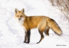 Red Fox 4 by *Les-Piccolo on deviantART