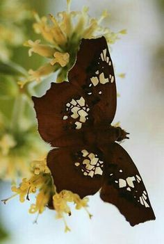 Tawny Angle Butterfly (Ctenoptilum vasava) by dandoucette wow! Papillon Butterfly, Butterfly Kisses, Butterfly Flowers, Butterfly Wings, Butterfly Pupa, Butterfly Chrysalis, Butterfly Live, Butterfly Watercolor, Beautiful Bugs