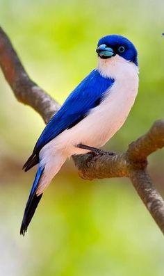 Vanga azul - Blue Vanga - Blauvanga - Artamie azurée