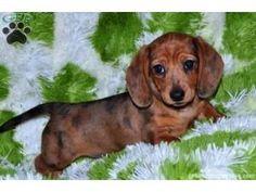 Mini dachshund puppy :)