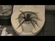 So I was just fuckin around on the fucking internet when I was like & brown things | Imagebreak: Brown huntsman spider Florida . | Brown ...