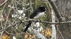 willie wagtail - YouTube