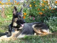 Allie, 4-Year-Old German Shepard  Allie has been an ambassador for the German Shepard breed in her community :)