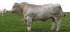 British Charolais - The British Charolais Cattle Society - Europe's No.1 Beef Breed
