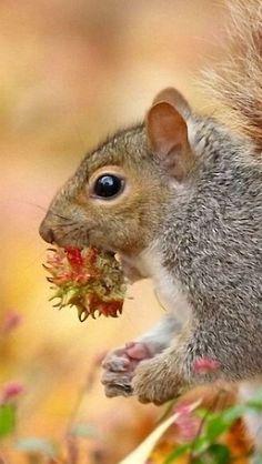 Ecureuil mordant des noisettes