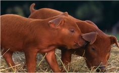 Duroc pigs.  My first grand champion pig was a Duroc.  Back in the day they were the easiest pig to prepare for the show ring.   We trimmed their ears and tail and put a little oil on their coat and good to go.