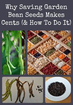 Describes why it makes sense to save your own garden bean seeds from year to year, and how easy it is to do it.: