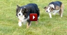 When Sheepdogs Get Bored, They Find a Way to Make Their Own Fun - It's Hilarious :)