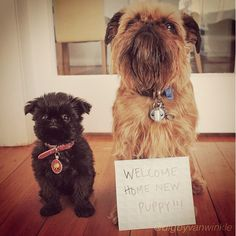 Little bro of famed Digby Van Winkle: | Meet Alo, The Griffon Pup Out To Steal Your Heart