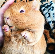 The Excellent Adventure Sanctuary (for guinea pigs with extra needs), Northampton, Northamptonshire. A specialist sanctuary supporting guinea. Baby Guinea Pigs, Guinea Pig Care, Guinie Pig, Guinea Pig Breeding, Cute Piggies, Pet Rabbit, Cute Creatures, Cute Baby Animals, Farm Animals