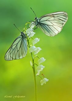 Butterflies -Lily Of The Valley.
