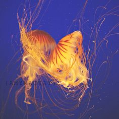 Jelly Fish. Vancouver Aquarium