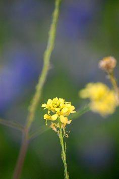 Yellow wild flower in Fort Worth, Texas