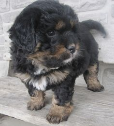Best No Cost bernese mountain dogs poodle mix Ideas Upwards of years, the particular Bernese Mountain Canine is a building block of park daily life within Bernese Mountain Dog Poodle, Mountain Dogs, Pet Dogs, Wiener Dogs, Doggies, Cute Puppies, Dogs And Puppies, Bernadoodle, Cute Dogs Breeds