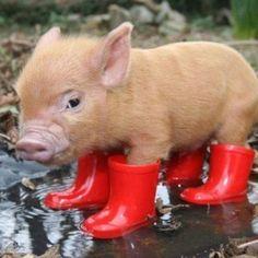 Baby Pig Booties/ SAM's piglet needs these!!! ;),  Go To www.likegossip.com to get more Gossip News!