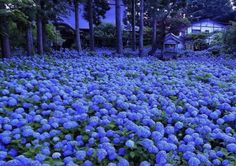 Hydrangea season in Japan is one of the most beautiful things you'll ever see