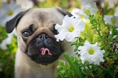 Puglet wishes flowers came in bacon flavor! (via esKadr)